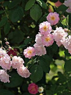 蔷薇花开1