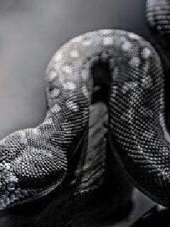 重生成蟒蛇