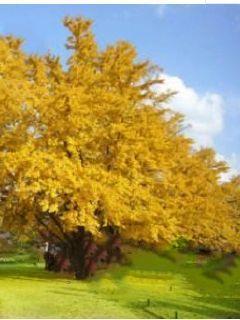 银杏树下的奇遇